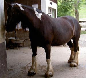 Shire_horse